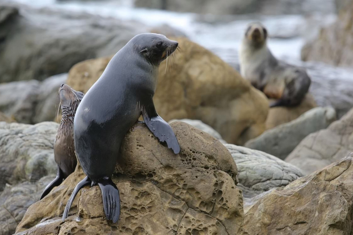 The Kaikoura coast is rich in fish and this gives us several large seal colonies. Some seal colonies are easily accessed on foot or by car or you can experience kayaking with seals for that close-up experience.